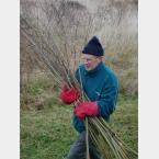 Once coppiced the Willow was removed